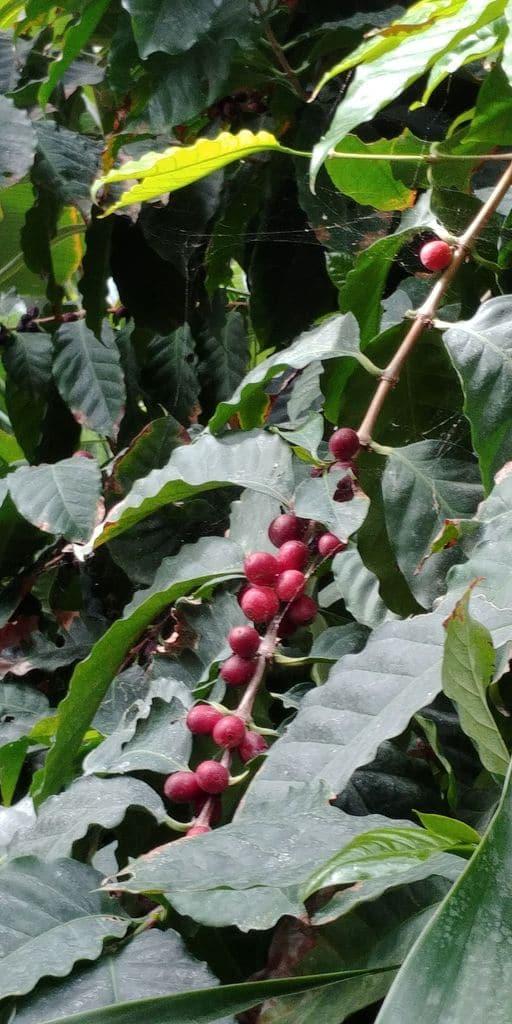 grains de café sur le cafeier