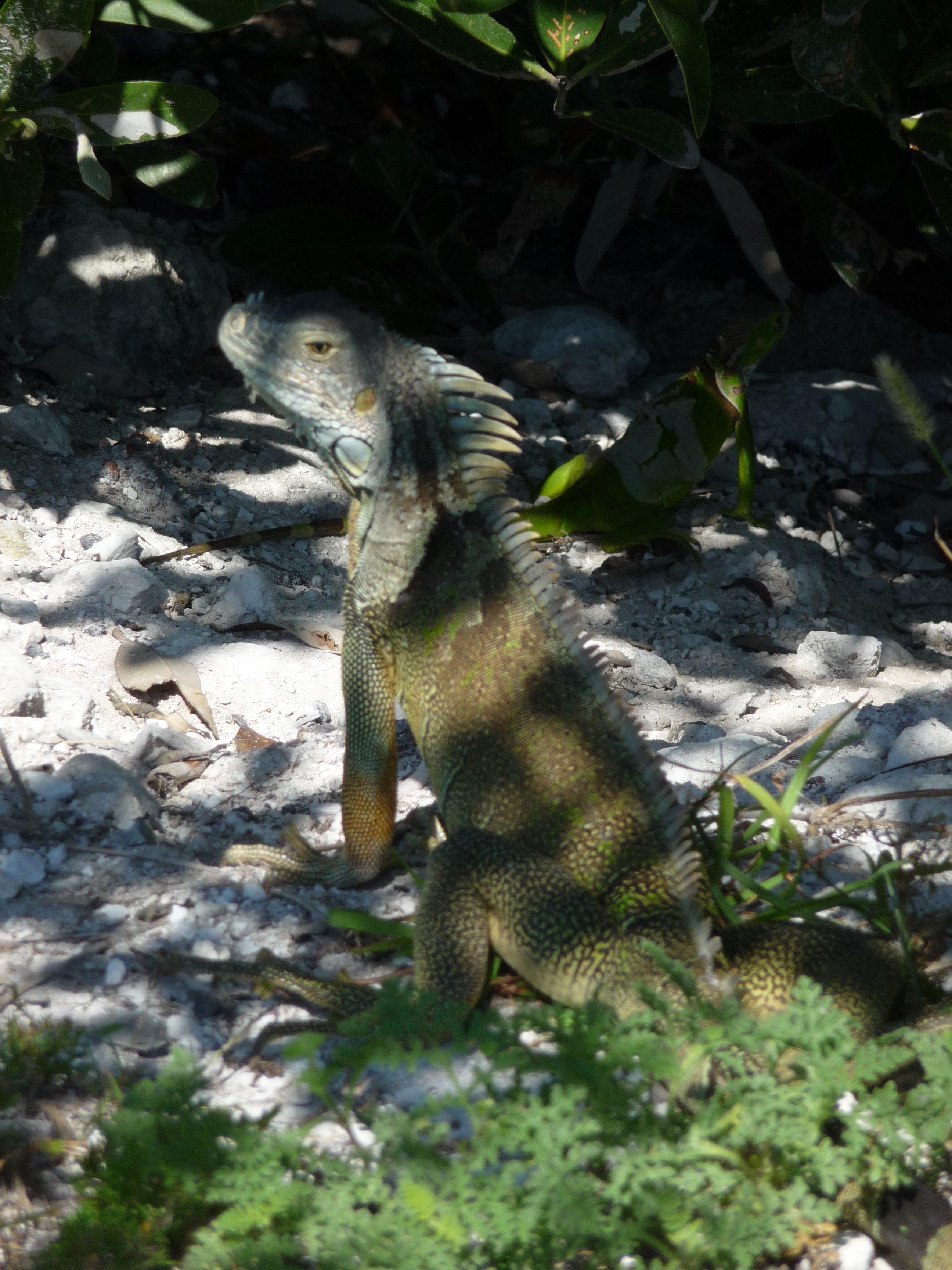 iguane islamorada keys floride