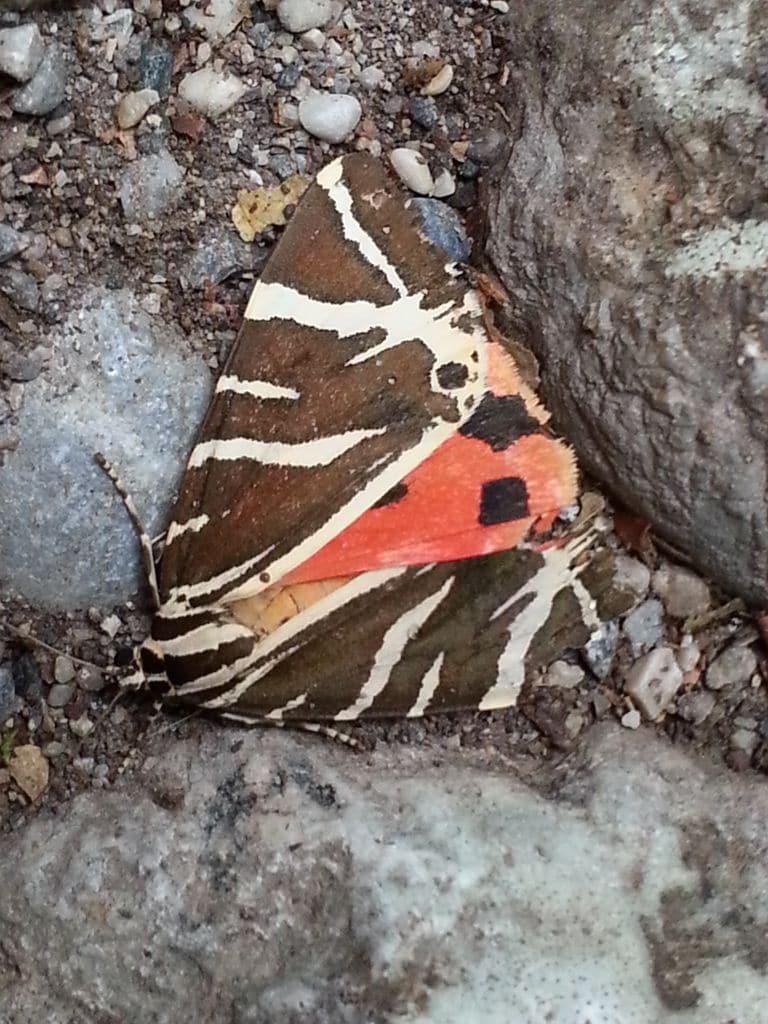papillon rhodes grece