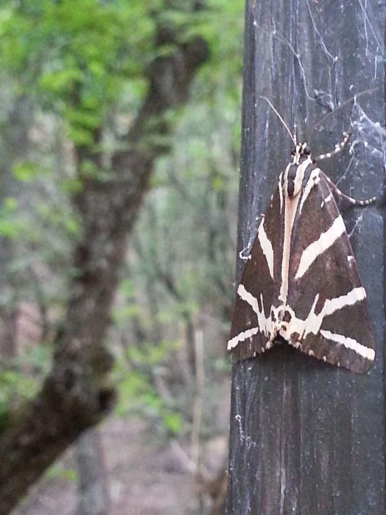 papillon rhodes