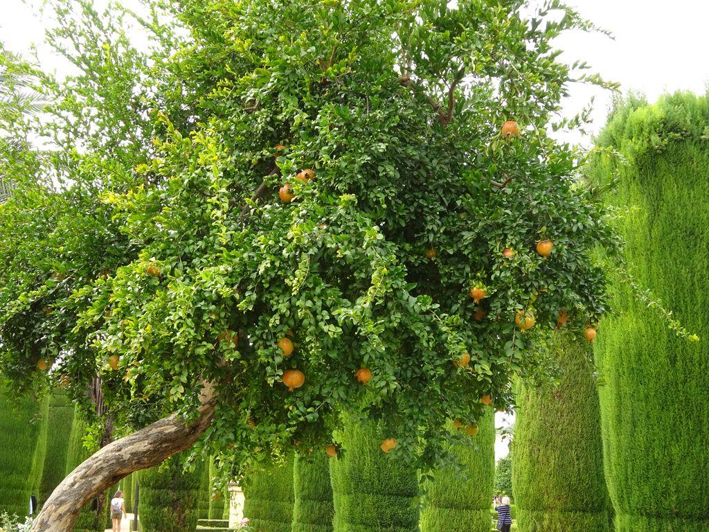 grenadier jardin cordoue espagne