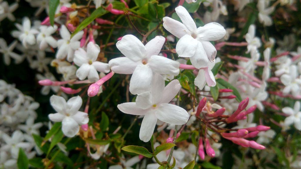 fontarrabie hendaye fleurs