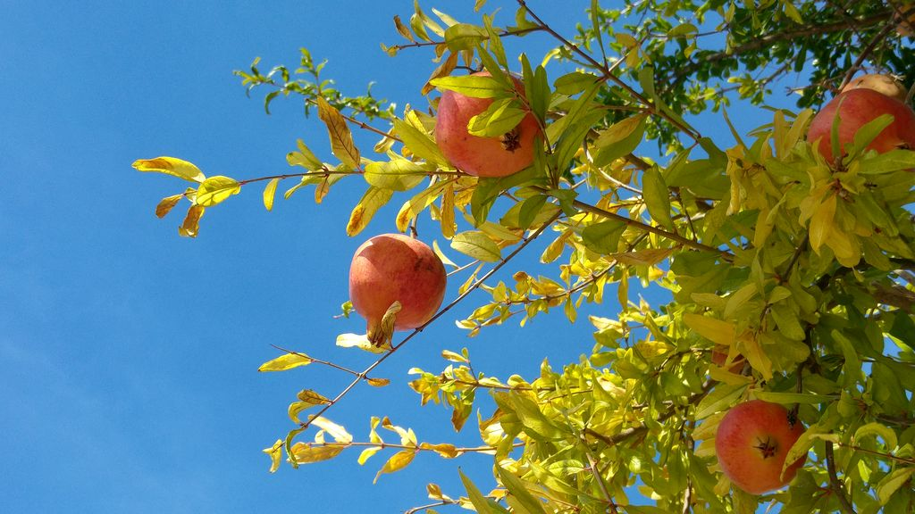 happycurio faro grenadier fruit portugal