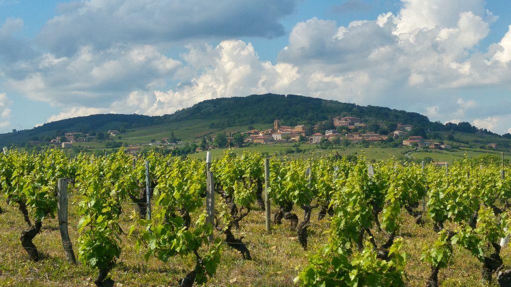 happycurio vignoble vignes beaujolais