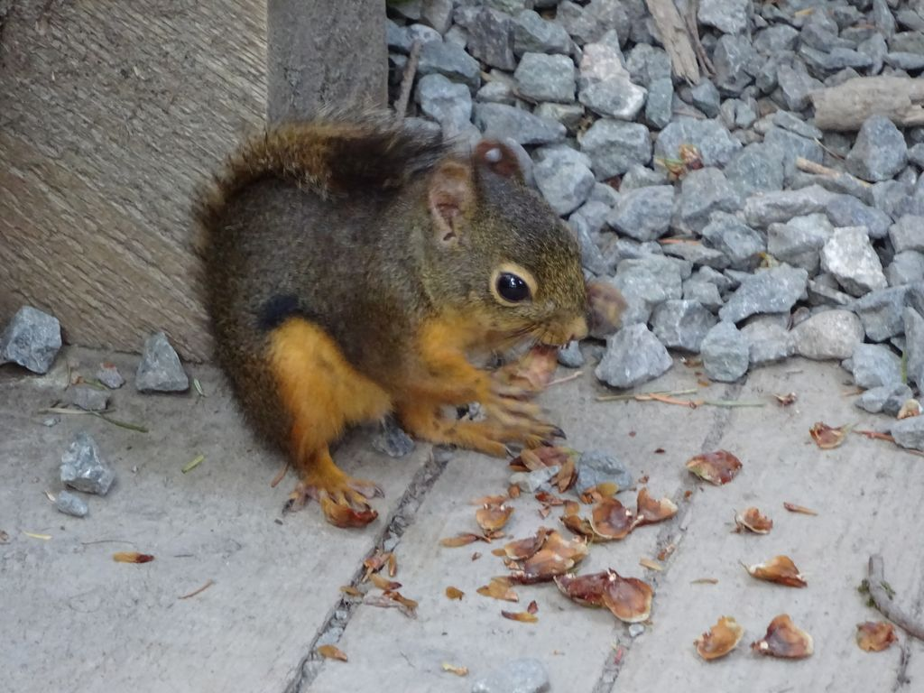 écureuil capilano vancouver