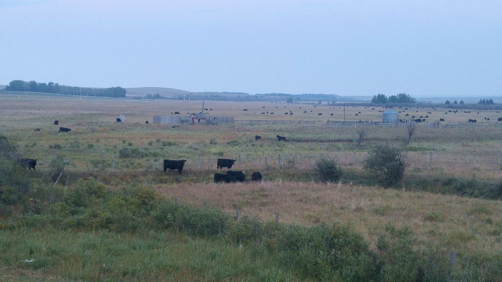vaches noires canada