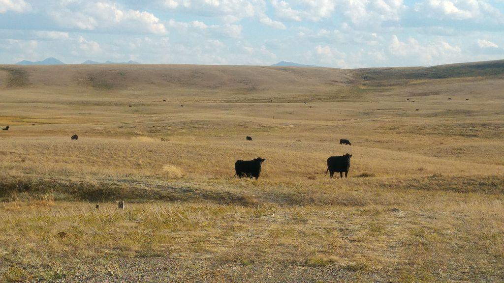 vaches noires blanc angus