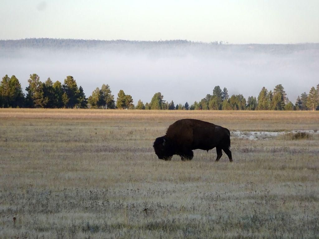 où voir les bisons à yellowstone