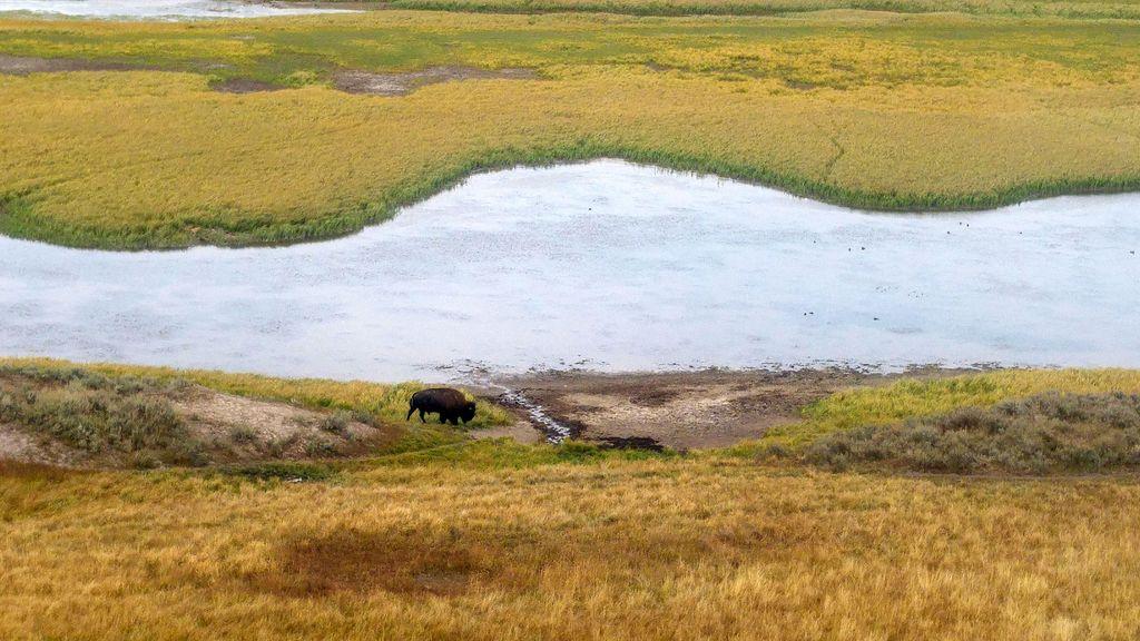 où voir les bisons dans parc de yellowstone