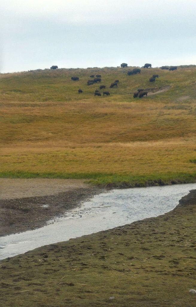 quand voir les bisons à yellowstone