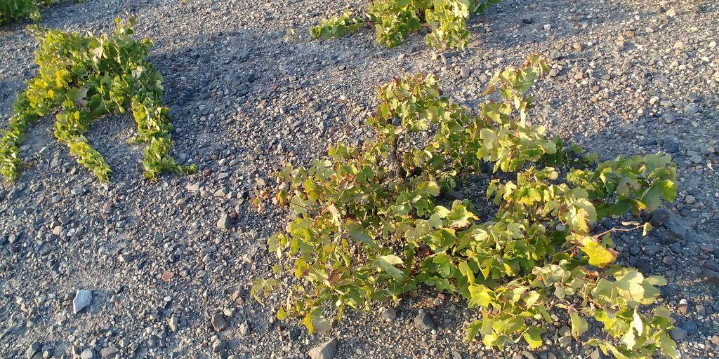 vigne des cyclades