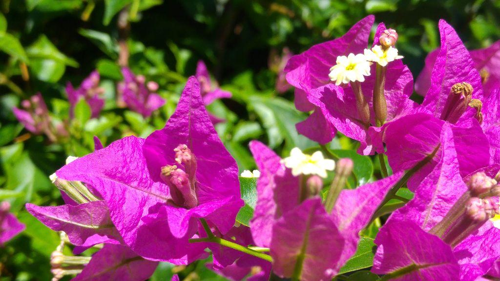 bougainvillers fleurs bali lombok