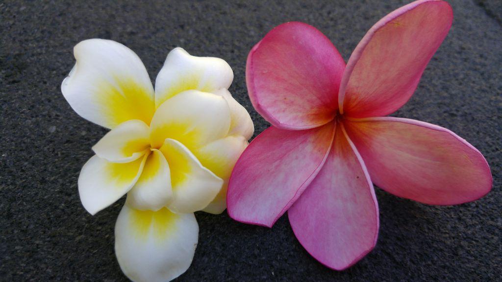 fleurs de frangipanier plumeria blanc rose
