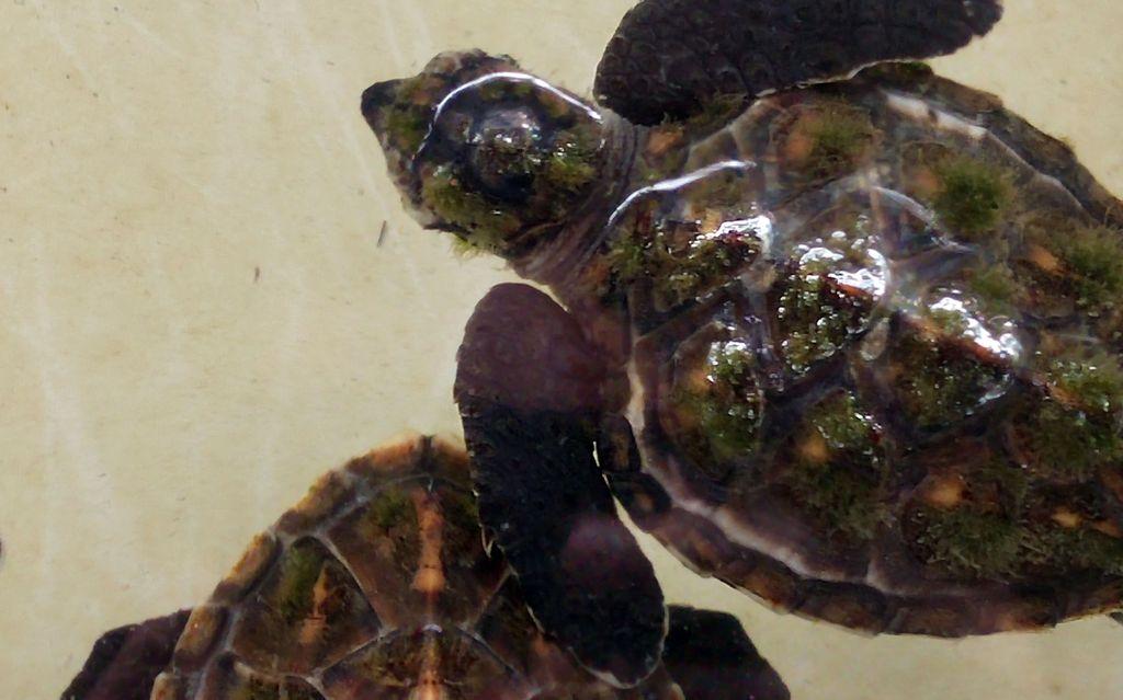 gili trawangan turtle observatory