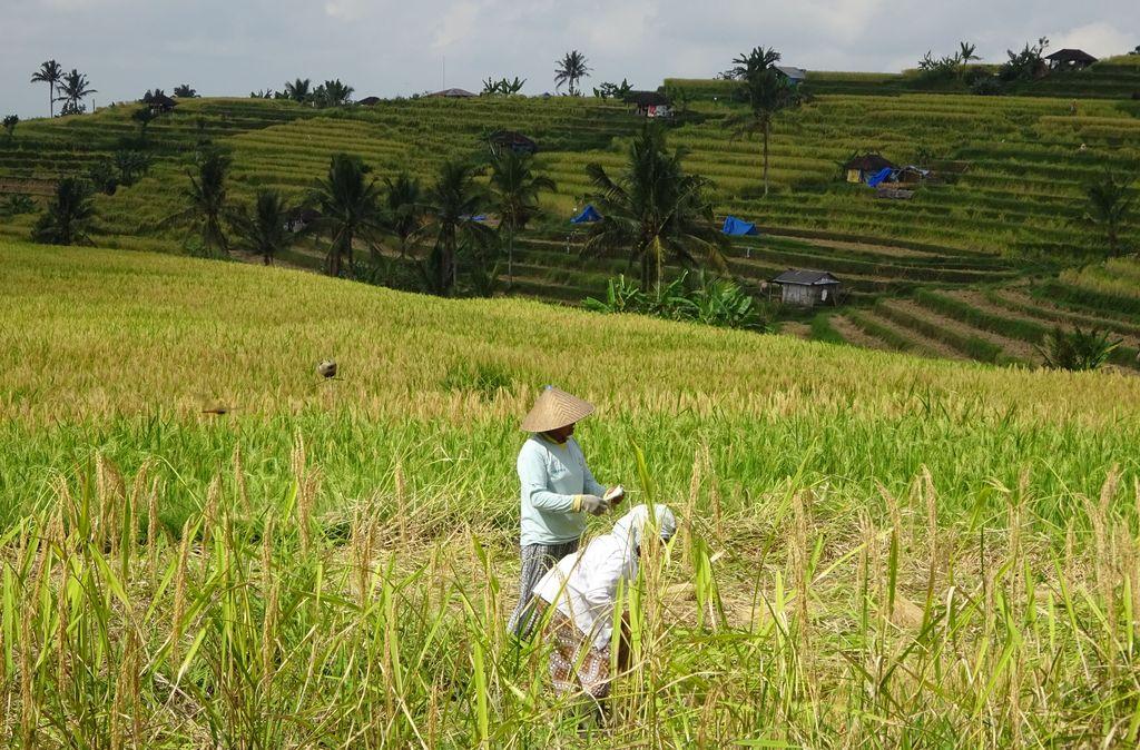 travailleurs dans la riziere de jatiluwih
