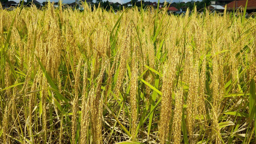 gros plan sur culture de riz