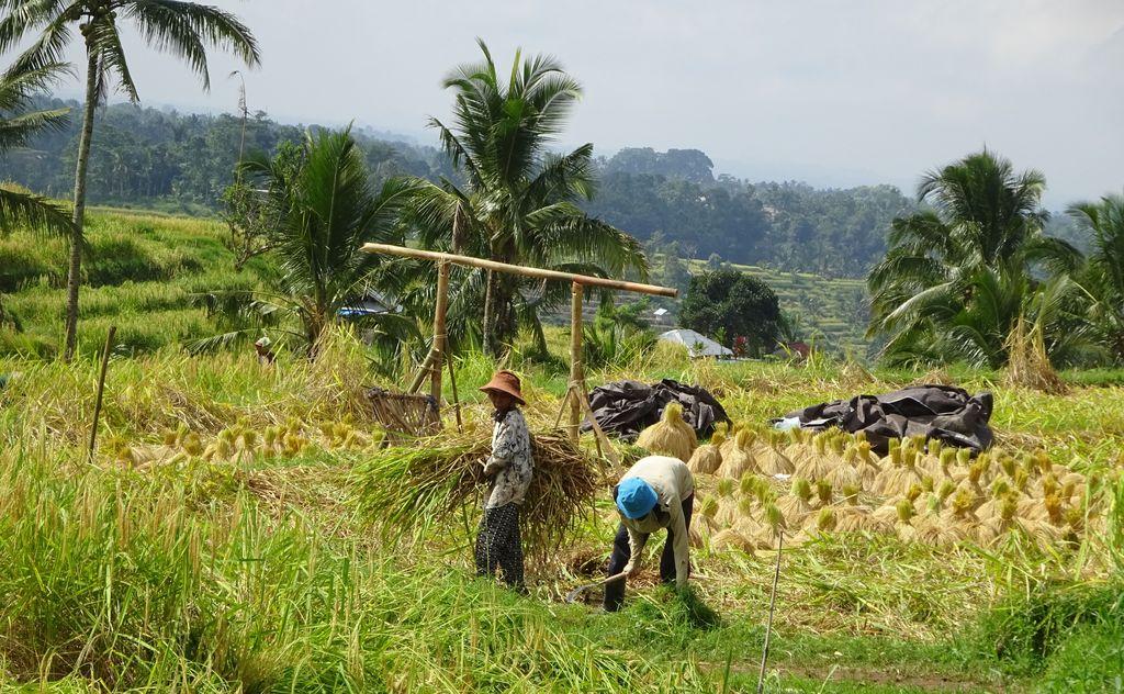 agriculteurs dans une riziere
