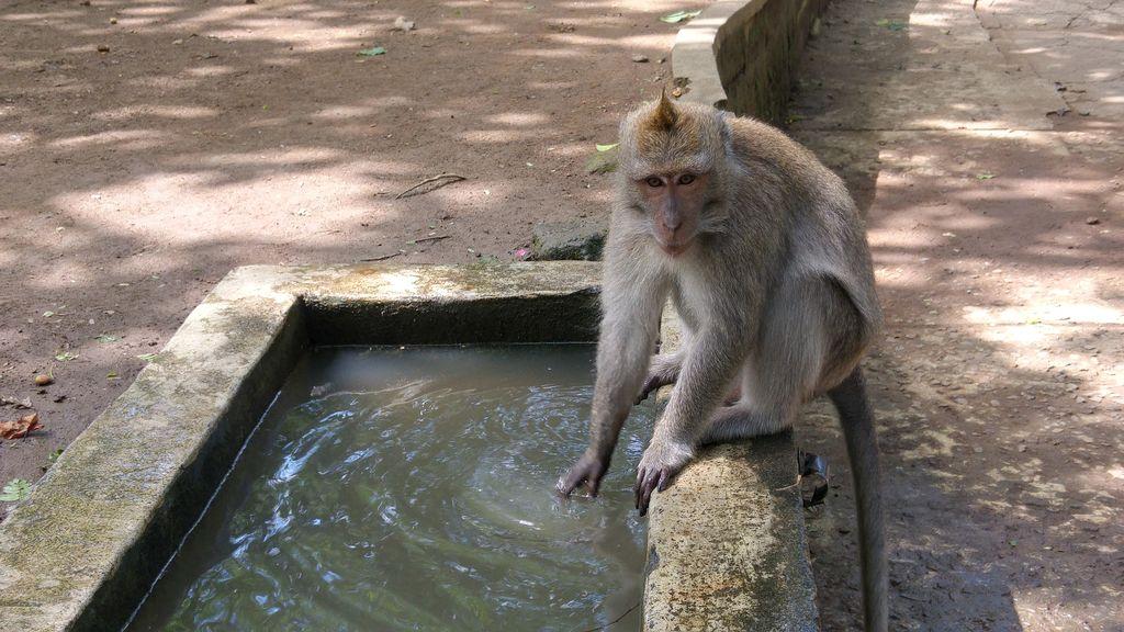 singe de la monkey forest ubud