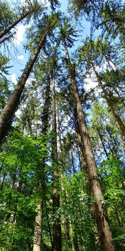 pins hauts dans les bois