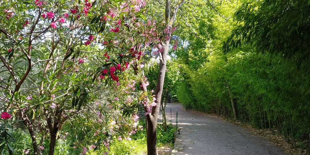 allée de bambous et lauriers roses