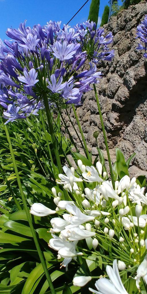 agapanthe blanche et violette