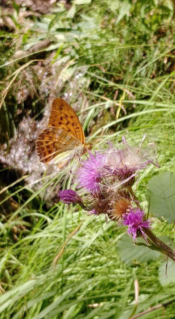 papillon sur un chardon
